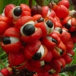 Le guarana : atouts et inconvénients