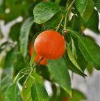 Les meilleures sous-variétés d'oranges douces selon leurs propriétés